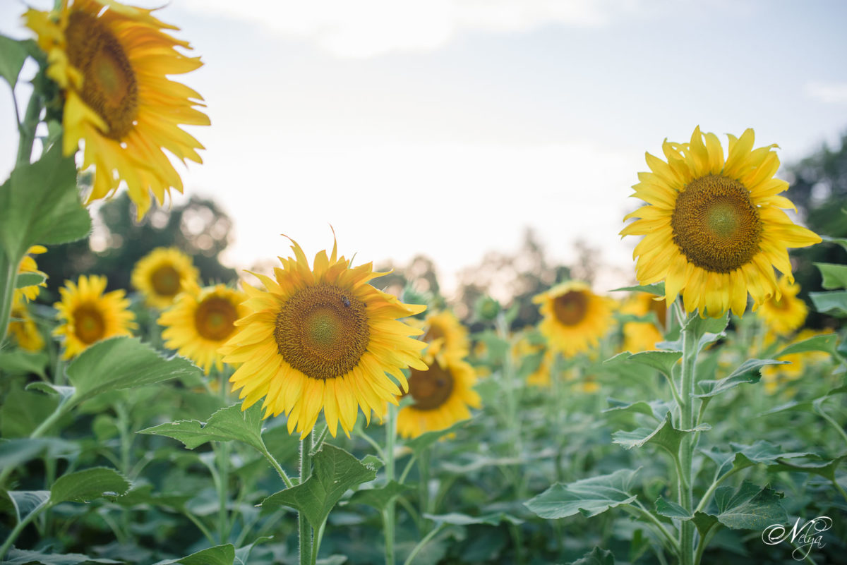 sunflower fields in Knoxville