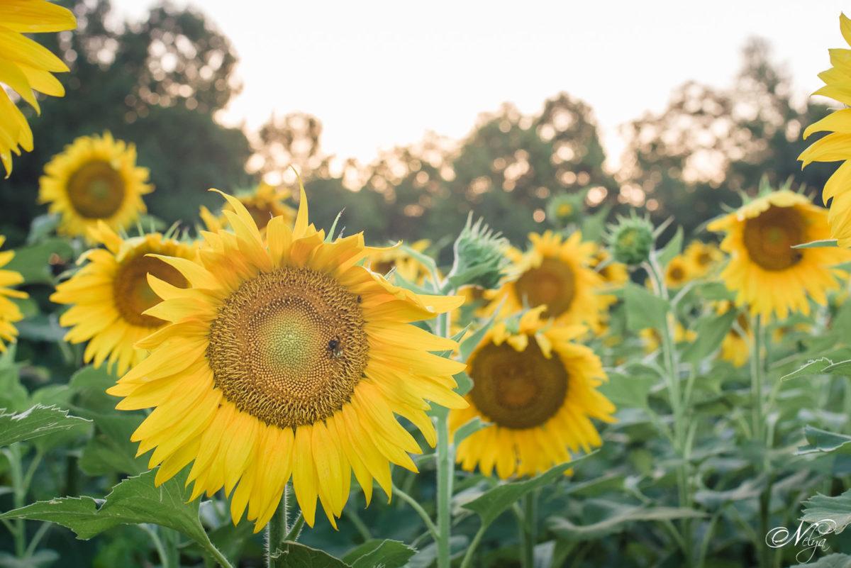 TWRA Sunflowers fields Knoxville TN