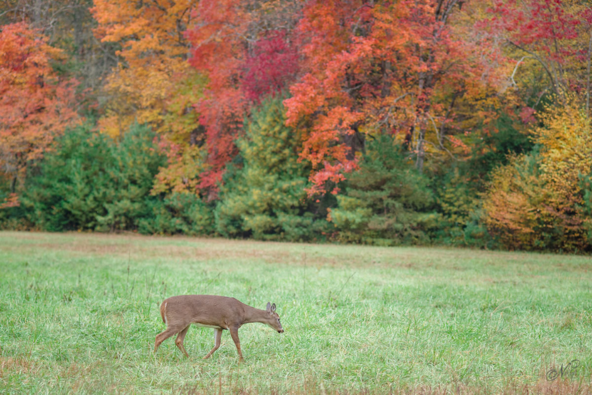 fall foliage and a deer at Cade's Cove