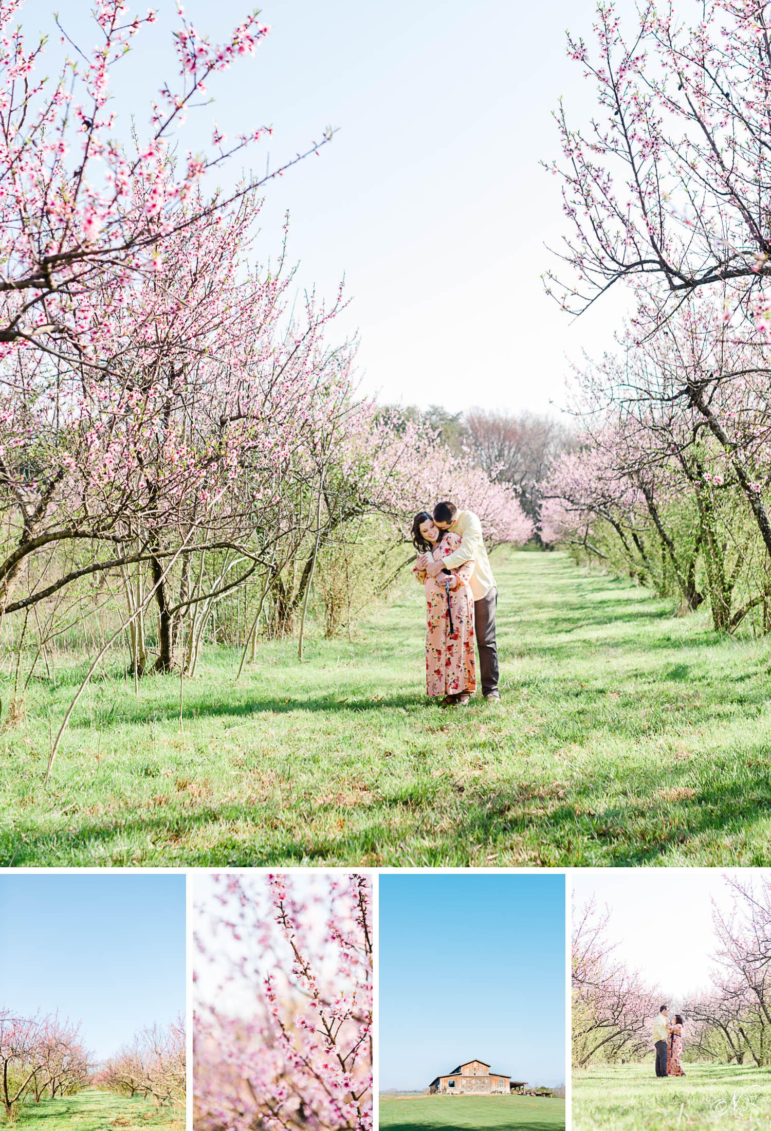 Nelya. The peach blossoms in full bloom at the Barn at Drewia Hill in Sale Creek TN.