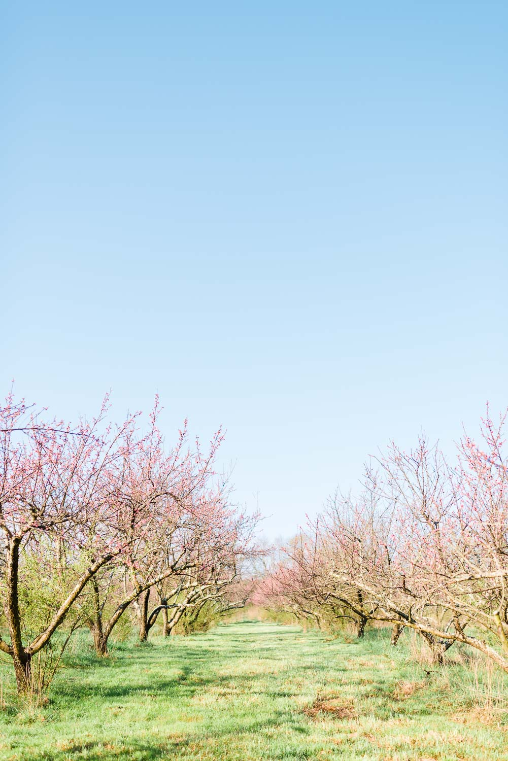 early morning view of the peach orchard in full bloom at the barn at Drewia hill in Sale Creek TN