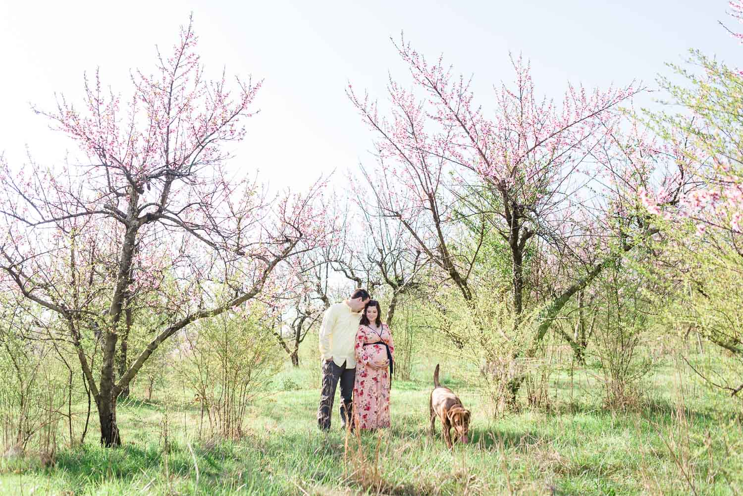 couple and chocolate lab out in peach orchard for maternity photo at sunrise