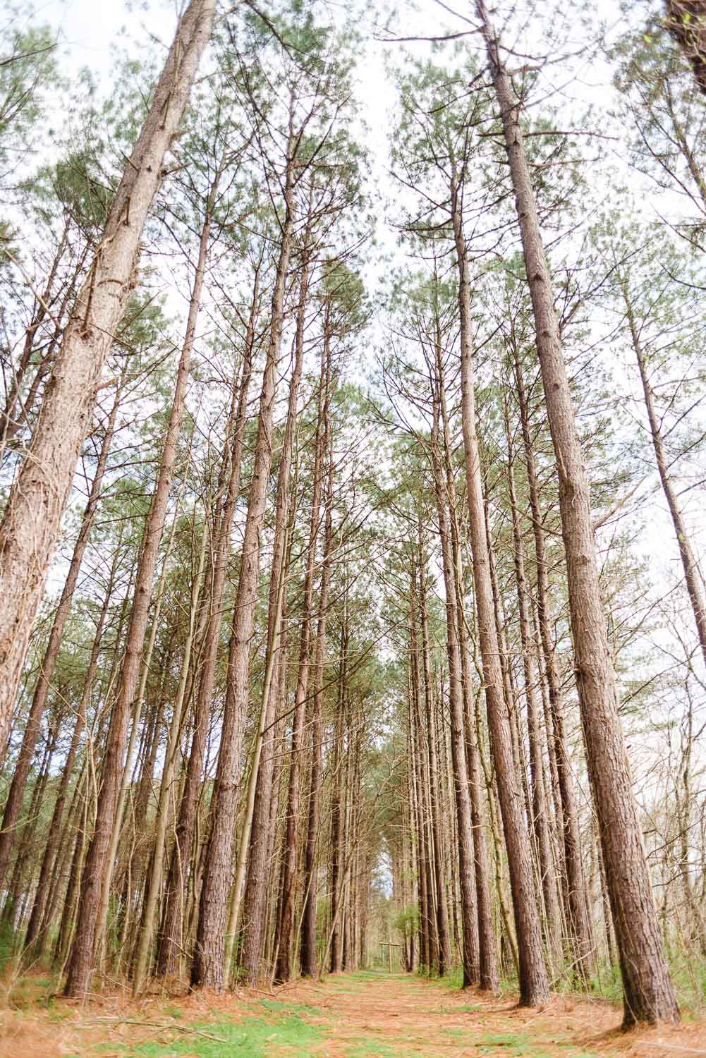 looking up at the tall tall pines at Hiwassee River weddings on the pathway to the cross