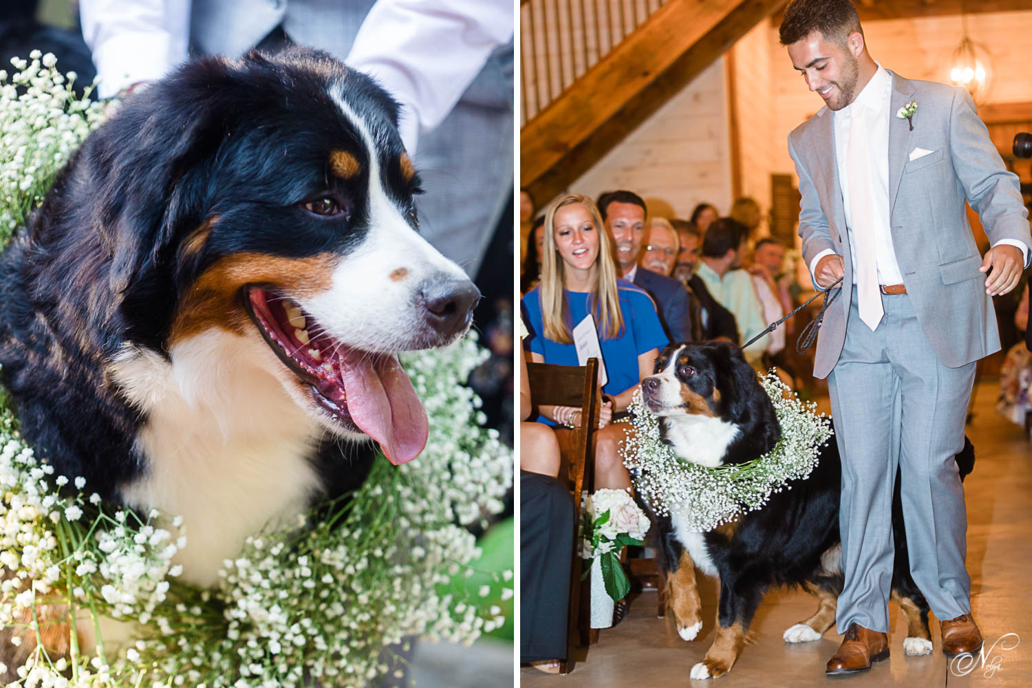 Raven the Bernese Mountain dog as the dog of honor being walked into the wedding.