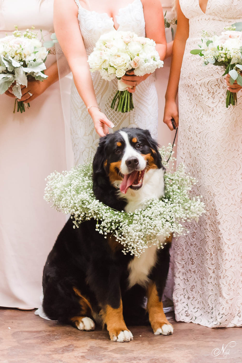 Bernese mountain dog wedding