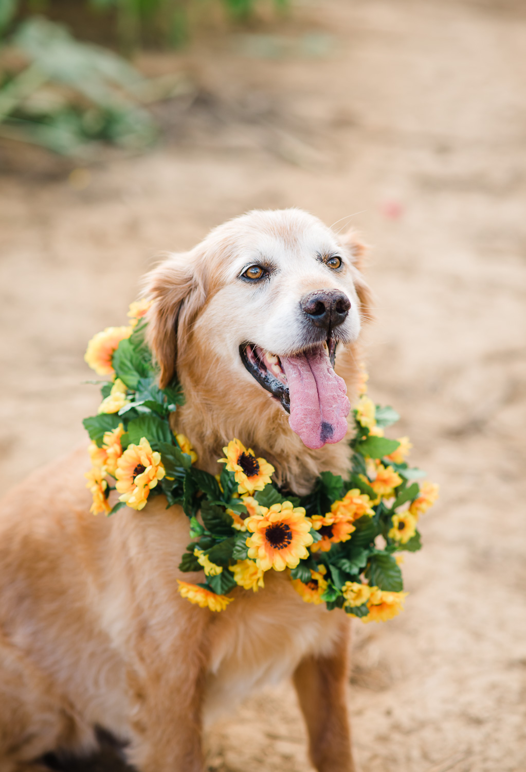 golden retriever wearding sunflower garlend around nect