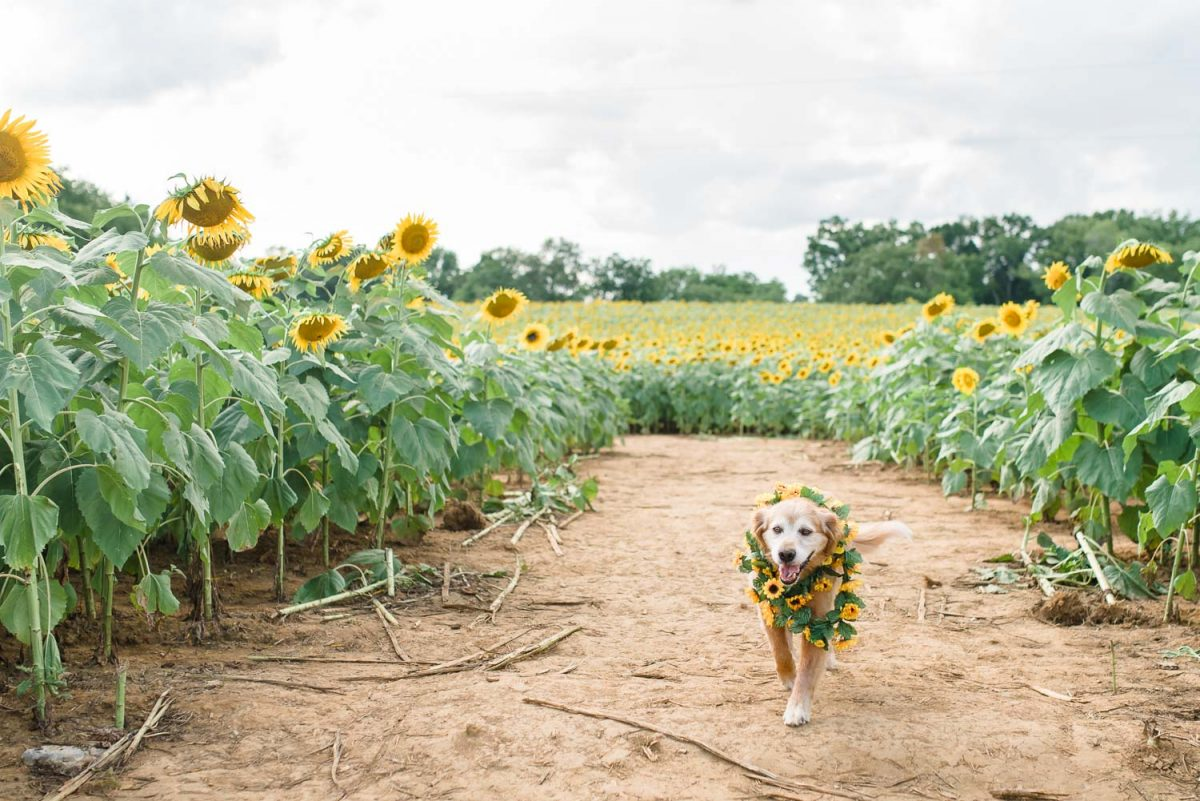 dog running in sunflower field in Ooltewah TN