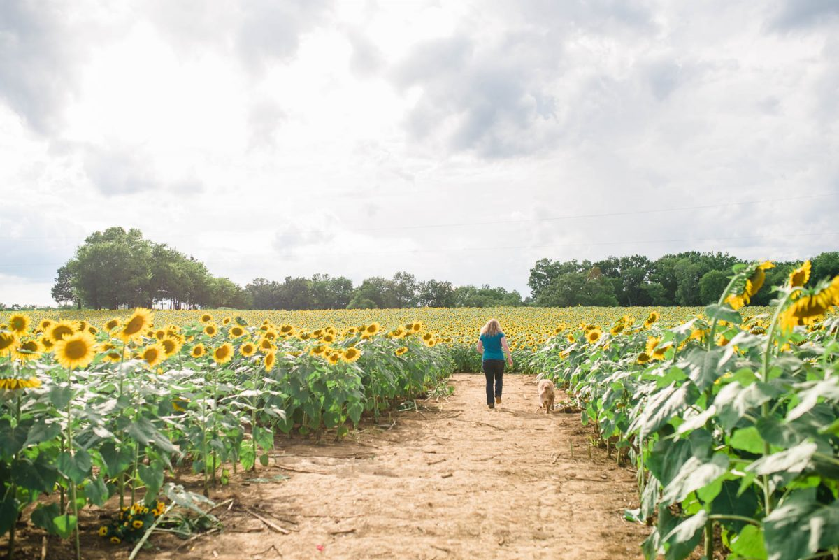 one person and a dog walking into a sunflower field