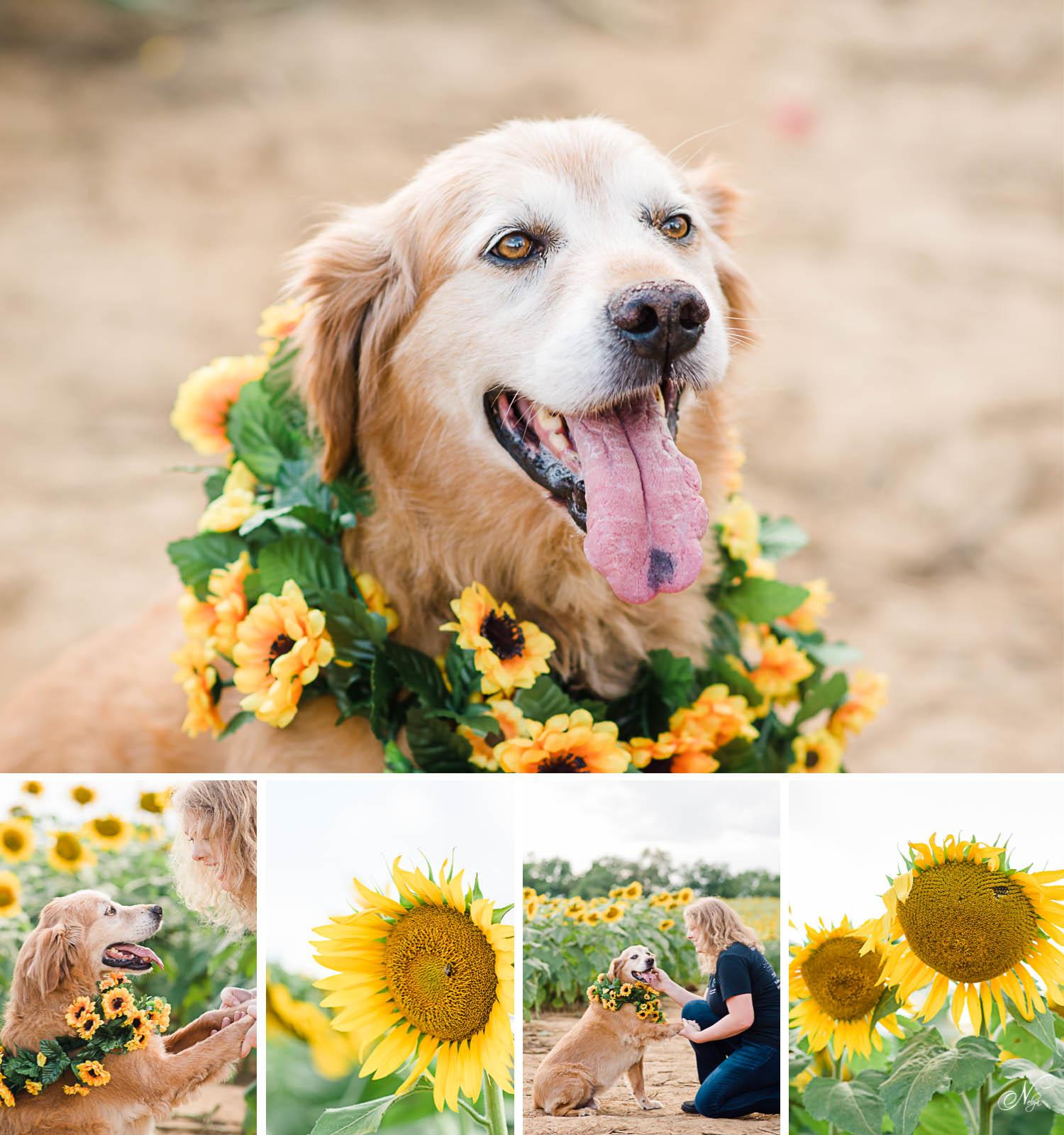 Adorable sunflower and dog photos